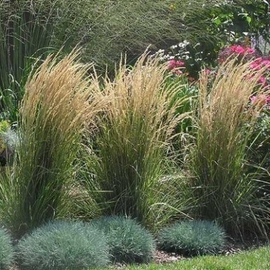 perennial-feather-reed-grass-1-385x385